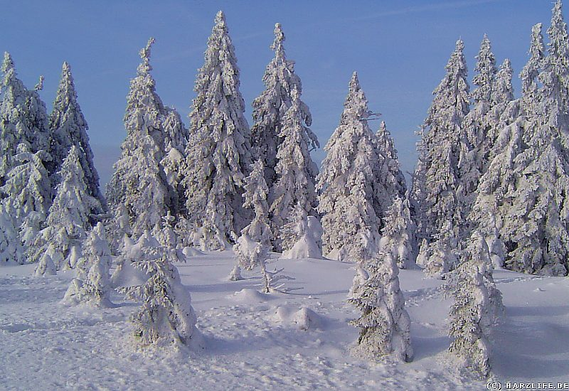 Winter im Harz - Winterwald