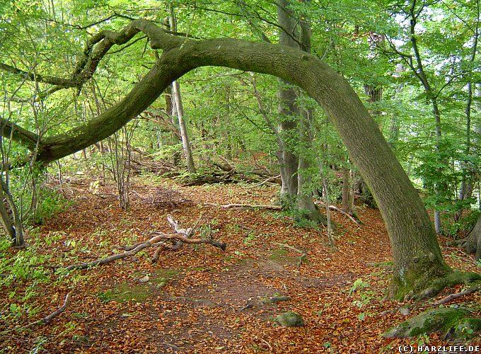 Naturschutzgebiet Itelteich bei Walkenried - Ein Baum wie ein Torbogen