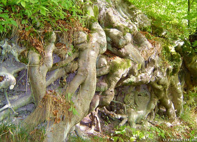 Naturschutzgebiet Itelteich bei Walkenried - Baumwurzeln auf der Suche nach festem Boden