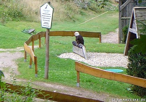 Weißkopfseeadler auf dem Gelände des Harzfalkenhofes