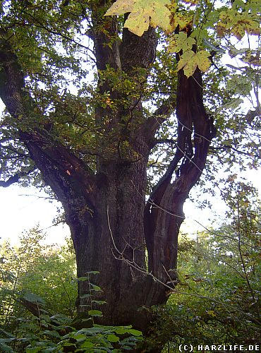 Das Naturdenkmal Sachseneiche