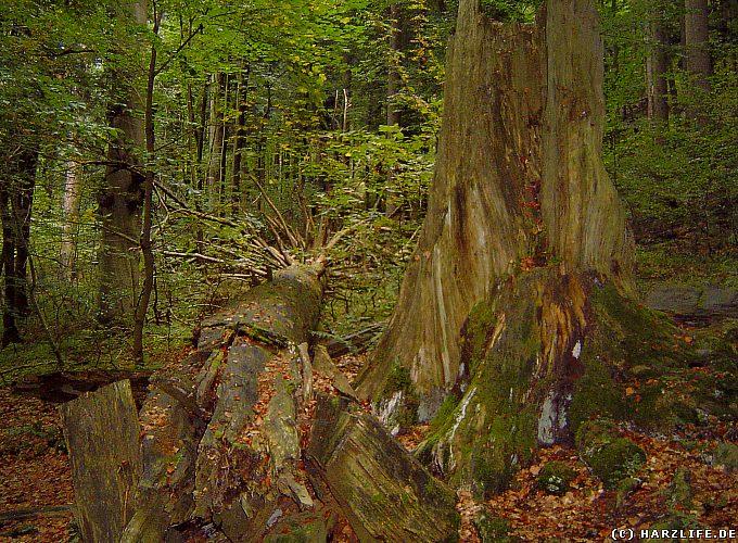 Toter Baumriese im Naturdenkmal Dicke Tannen
